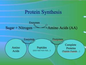 Protein Synthesis - AEA